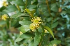 Buchsbaum-klein